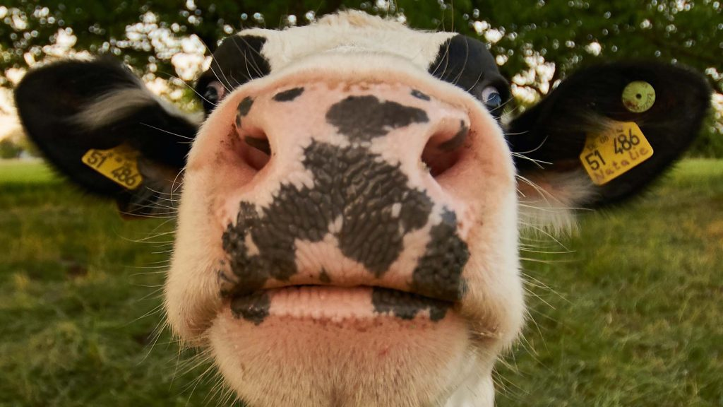 Cow Close